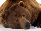 Brown_Bear_Wallpaper_9rot8